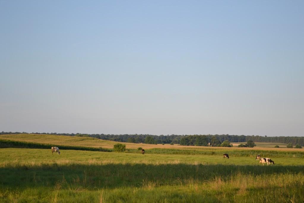 Krowy żrące trawę